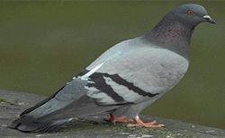 Pingeon