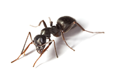 Ants Pest Control Farnborough