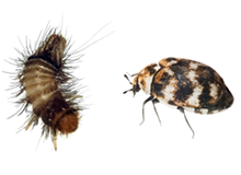 Carpet Beetles Pest Control Farnborough