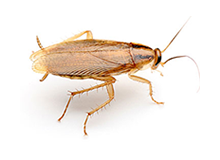 German Cockroach Pest Control Farnborough