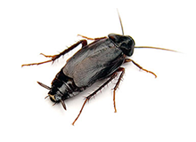 Oriental Cockroach Pest Control Farnborough