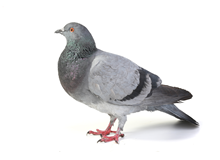 Pigeons Pest Control Farnborough