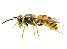 Wasps Pest Control Farnborough