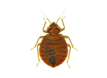 Bed Bugs Pest Control Farnborough