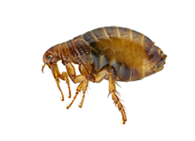 Fleas Pest Control Farnborough