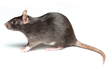Rats Pest Control Farnborough