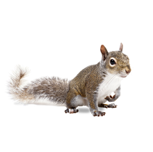Squirrels Pest Control Farnborough